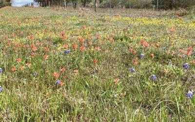 Texas Wildflowers: Pretty with Purpose