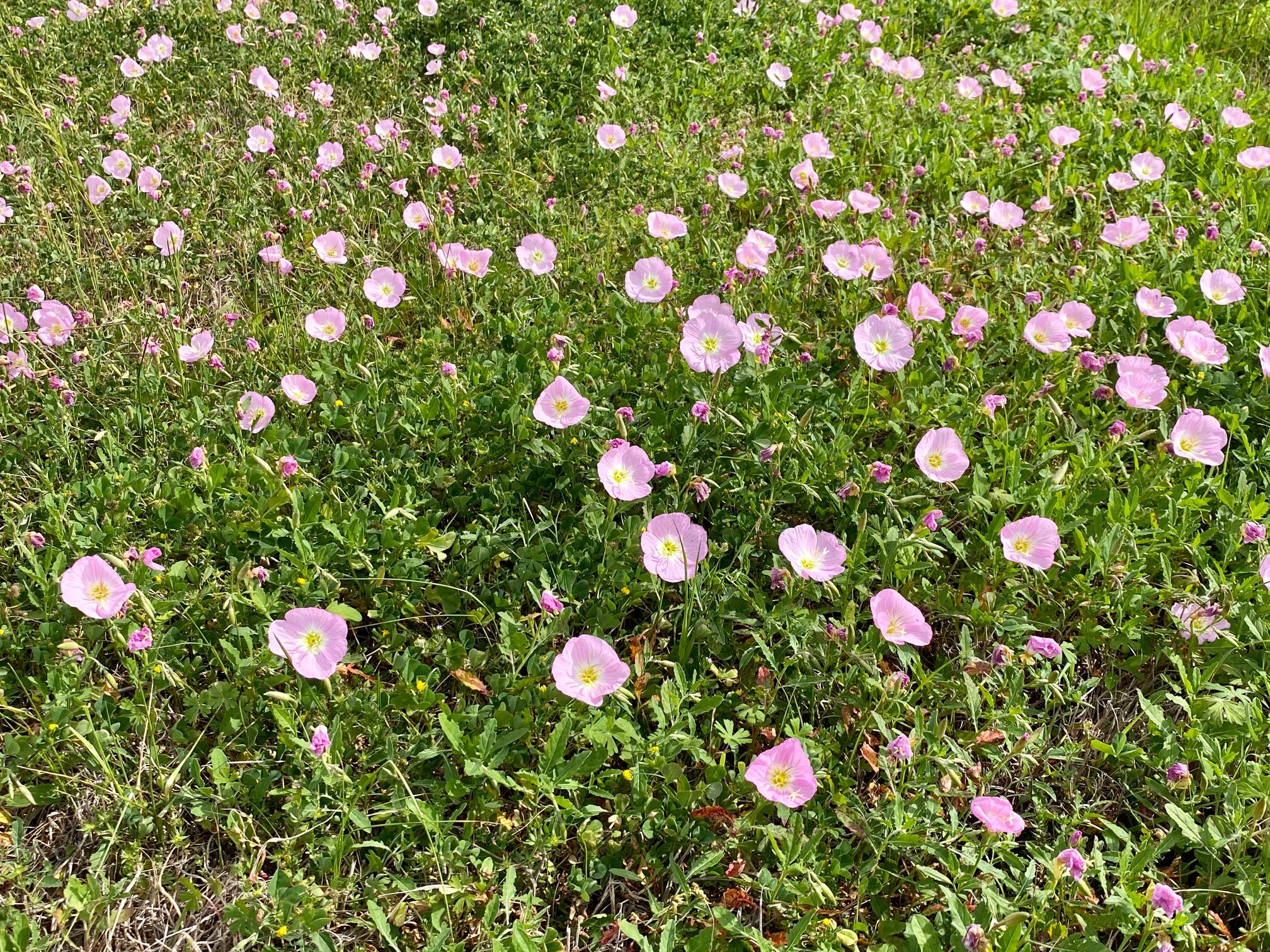 Wildflowers along Highway 95 from Shiner to Yoakum