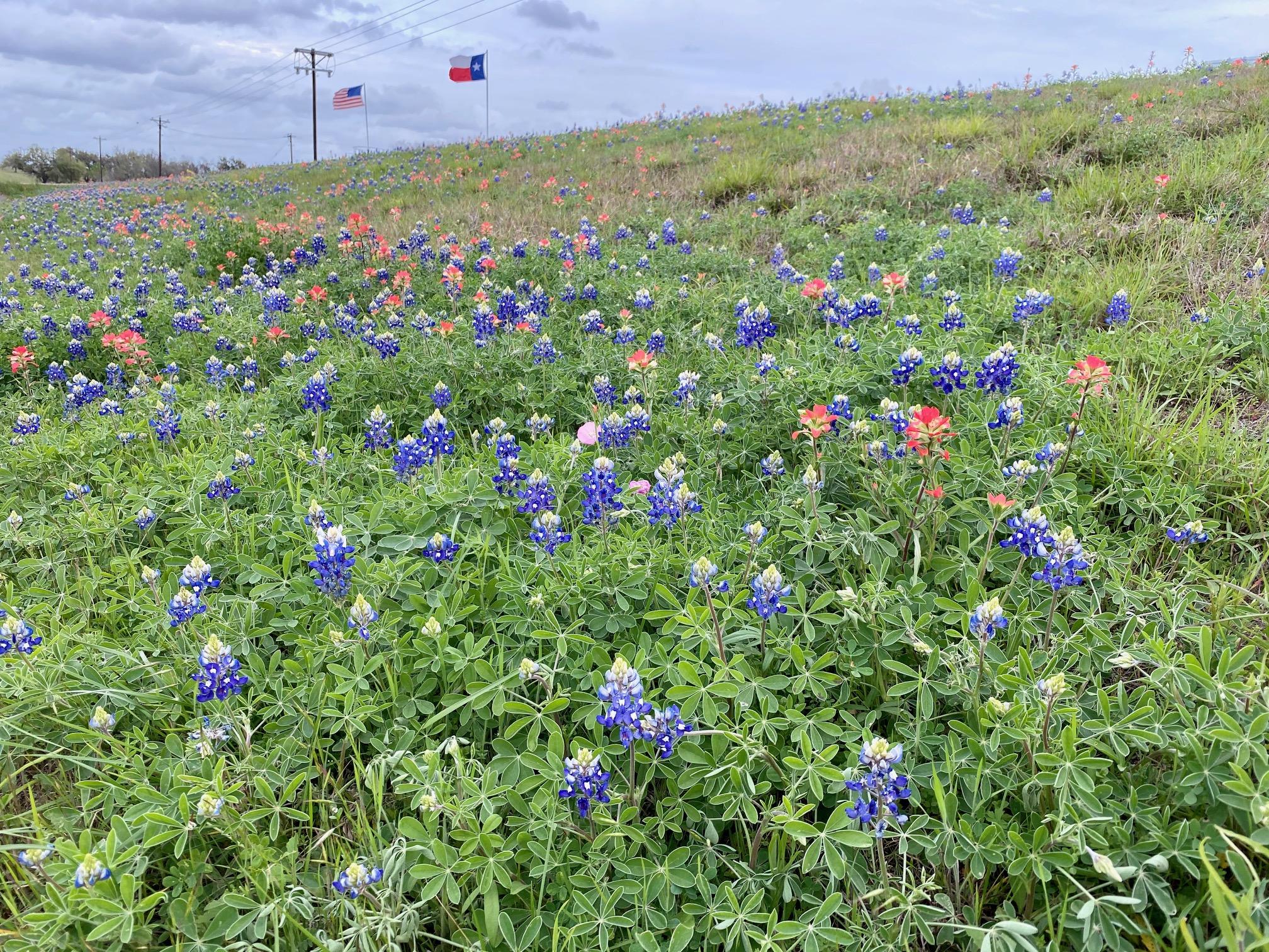 Wildflowers along Highway 77 from Yoakum to Cuero